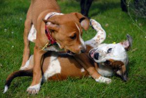 Взрослая собака и щенок. Как подружить щенка со взрослой собакой. Дружба с юных лет