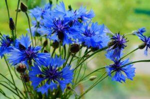 Василек синий: свойства, применение и рецепты. Василек синий — мал, да в лечении удал