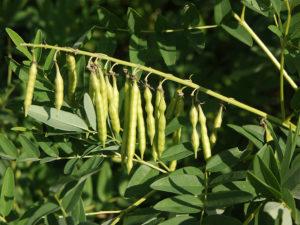 Софора растение применение. Где растет и как выглядит софора. Целебные свойства софоры