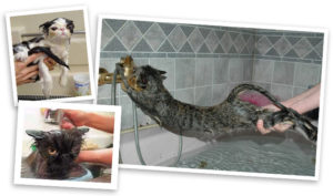 Можно ли мыть кошку во время беременности. Можно ли мыть беременную кошку. Купание кошек во время линьки, вакцинации и карантина