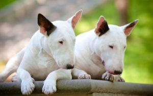 Бультерьер происхождение породы. Бультерьер — Bull Terrier. Уход за бультерьером