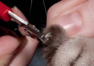 Как правильно подстричь когти. Как подстричь когти французскому бульдогу, таксе, пуделю? Подстригаем когти котятам правильно