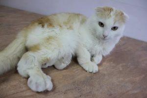 Остеохондродисплазия кошек породы Скотиш Фолд (Scottish Fold). Остеохондродисплазия шотландских вислоухих кошек