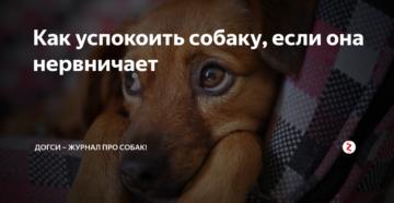 Как успокоить собаку, когда она взволнована. Как успокоить собаку или щенка, когда они бесится Как успокоить собаку когда она бесится