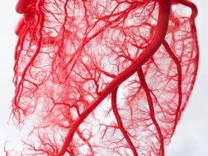Расположение кровеносных сосудов у человека. Кровеносный сосуд