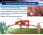 Пути заражения, симптомы и лечение бычьего цепня. Бычий цепень: симптомы, которые сигнализируют о заражении.