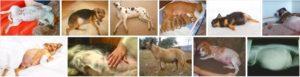 Сколько по времени ходит собака беременной. Сколько длится беременность у собак. Сколько месяцев длится беременность у собак