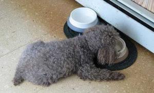 Пудель щенок 3 месяца. Дрессировка щенка пуделя по месяцам. Примерное меню и расписание кормления щенков