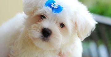 Как назвать мальтезе? Клички для мальтийской болонки. Какой кличкой можно назвать щенка мальчика маленькой породы собак Клички для собак мальтийская болонка