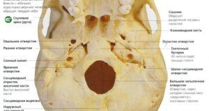 Отверстия основания черепа и их содержимое. Что представляет собой рваное отверстие, где оно находится и что через него проходит Что проходит через овальное отверстие черепа