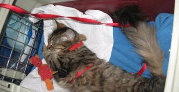 Как перевезти котенка в поезде. Перевозка кошки в поезде. Успокоительные для кошки