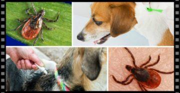 Почему собаки умирают от укуса клеща. Что делать если собаку укусил клещ? Опасность заболевания энцефалитом для питомцев