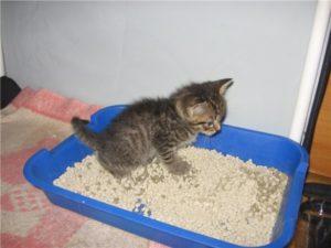 Когда отдавать котят. В каком возрасте лучше брать котенка домой? Как приучать котят к твердой пище