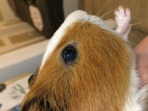 У морской свинки слезятся глаза. Признаки заболевания морских свинок