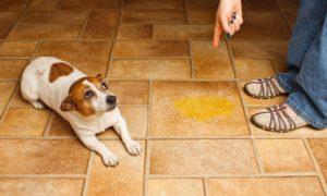 Как приучить щенка оставаться одному в квартире. Как приучить щенка оставаться в квартире одному Как приучить собаку быть одной дома