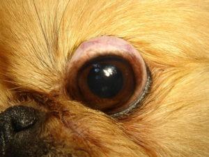 Собака, у которой выпадают глаза – что это за недуг и как он лечится. У каких собак выпадают глаза: причины и лечение У какой собаки выпадают глаза от испуга