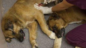 Усыпление собак: как усыпить животное безболезненно. Как усыпить собаку и сколько это стоит? Как сделать эвтаназию собаке