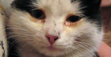 У кота слезятся глаза и чихает что делать. Что делать, если кошка чихает и у нее слезятся глаза