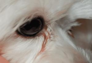 Слезятся глаза у собаки причины как лечить. Почему у собаки слезятся глаза? Причины возникновения слезотечения у собак