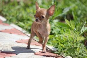 Сколько живут чихуахуа в домашних условиях. Сколько живут чихуахуа: средняя продолжительность жизни собаки чихуахуа Сколько живут чихуахуа в домашних условиях крупные
