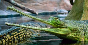 Крокодил, аллигатор, кайман или гавиал - кем на самом деле был крокодил гена