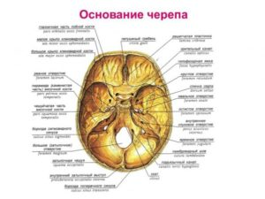 Топографическая анатомия мозгового черепа. Топография черепа и его анатомия. Структура свода и основания