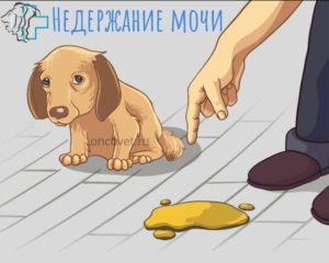 У собаки подтекает моча лечение. Недержание мочи у собаки? Выход есть