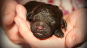 Когда у щенков открываются глаза — рассмотрим этот период от А до Я! На какой день после рождения у щенков прорезаются глазки? Щенку 16 дней не открыл глаза