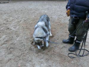 Как отучить собаку рыть ямы во дворе. Собака роет ямы во дворе – как перевоспитать животное Чему собака роет ямы во дворе