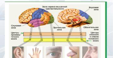 Глаза орган осязания. Сколько основных органов чувств у человека и каковы их основные функции и значение? Органы чувств и головной мозг, нервная система: как взаимосвязаны? Правила гигиены основных органов чувств