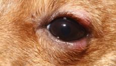 Обнаружена опухоль века у собаки: методы диагностики, лечение. Новообразования мейбомиевых желез у собак Бывают ли у собак ячмень на глазу