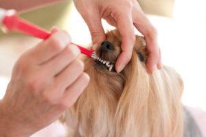 Не хочет чистить зубы й. Как чистить зубы йорку в домашних условиях? Правильно чистим зубы йоркширскому терьеру