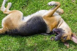 Синдром угасания или внезапная смерть щенков. Внезапная смерть у собак кошек