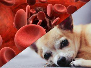 Малокровие у собак: симптомы, причины и лечение. Симптоматика анемии и ее лечение у собак Низкие эритроциты у собаки причины