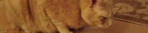 Кошка издает звуки как будто кашляет. Почему кошка кашляет как будто подавилась или поперхнулась и чем лечить. Что делать, если кошка кашляет