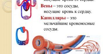 Кровеносные сосуды несущие кровь от сердца к органам тела. Сосуды и отделы сердца несущие венозную кровь
