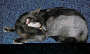 Облысение у кошек. Психогенная алопеция у кошек