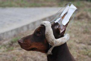 Как поставить уши доберману? Доберман с некупированными ушами: за и против Доберман купированные уши
