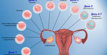 Этапы зачатия по дням и ощущения. Проблемы с весом. Как быстро происходит процесс