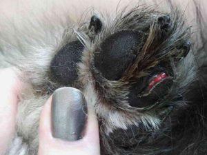 Собака порезала подушечку на лапе: что делать с раной, частые ошибки домашнего лечения. Что делать если собака порезала лапу Собака срезала подушечку на лапе лечение