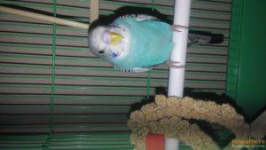 Как давать активированный уголь попугаю. Понос у попугая — что делать? Мел для попугая