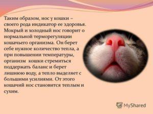 Почему у кошки влажный холодный нос. Почему у котов мокрый нос. Возможные сопровождающие симптомы при недомогании