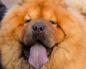 У каких собак фиолетовый язык. Описание породы собак с синим или фиолетовым языком (чау чау). С каким языком рождаются щенки чау-чау