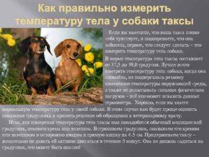 Нормальная температура тела таксы. Нормальная температура тела у собаки. Что дает высокая температура, зачем она