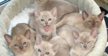 С чего начать разведение кошек как бизнес. Бизнес на разведении породистых кошек
