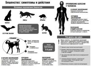 Заражение бешенством через кровь собаке на человека. ВОЗ оказывала поддержку в проведении исследований в странах, эндемичных по бешенству. Симптомы у кошек