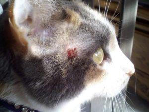 Грибковые заболевания у котов и кошек. Грибок у кошек: виды опасных возбудителей Микоз у кошек