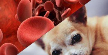 Чем можно поднять гемоглобин у собаки. Анемия у собак: причины, симптомы и профилактика. Виды анемии у собак