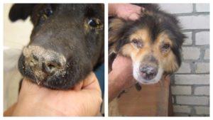 Через сколько дней умирает собака больная чумкой. Чумка у собак. Профилактика, симптомы, и лечение б. Симптомы и признаки чумки