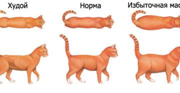 Как кормить кота чтобы он был толстым. Почему кот худой и не толстеет